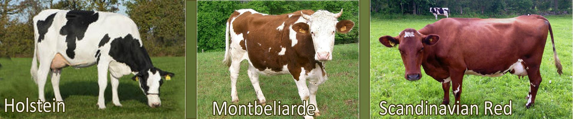 Holstein Montbeliarde ScandinavianRed