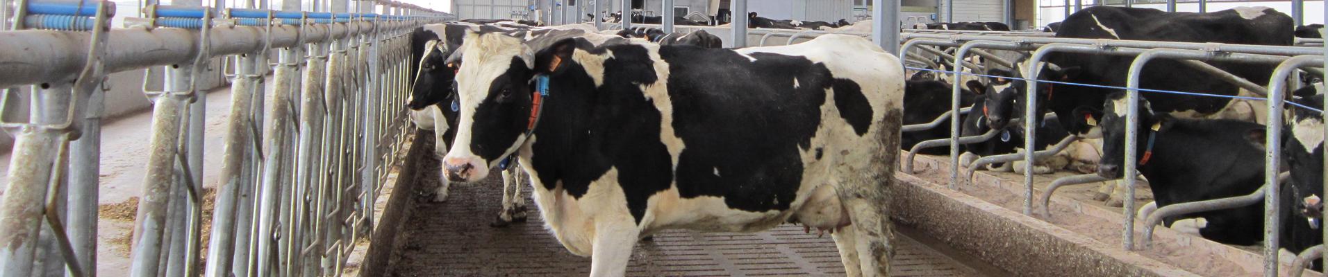 étable robot lait bio